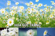 Ý nghĩa hoa Cúc trắng - loài hoa mỏng manh nhưng rất mạnh mẽ
