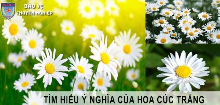 Ý nghĩa của hoa cúc trắng
