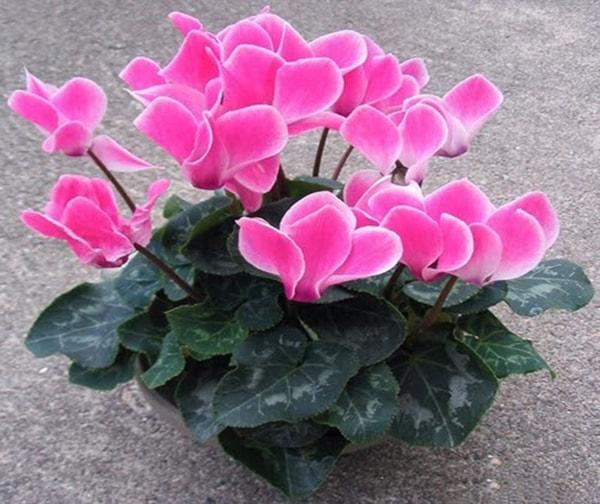 Hoa anh thảo - Loài hoa của sự duyên dáng