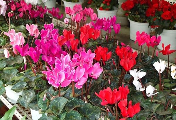 Cách trồng và chăm sóc hoa anh thảo tươi lâu