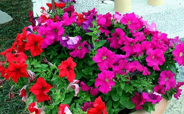 Chăm sóc và phòng trừ sâu bệnh trên hoa anh thảo